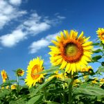 ひまわりが太陽を追いかける成長法則の謎